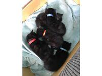 5 Black Kittens male & female