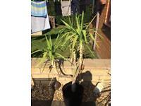 Yuka plants