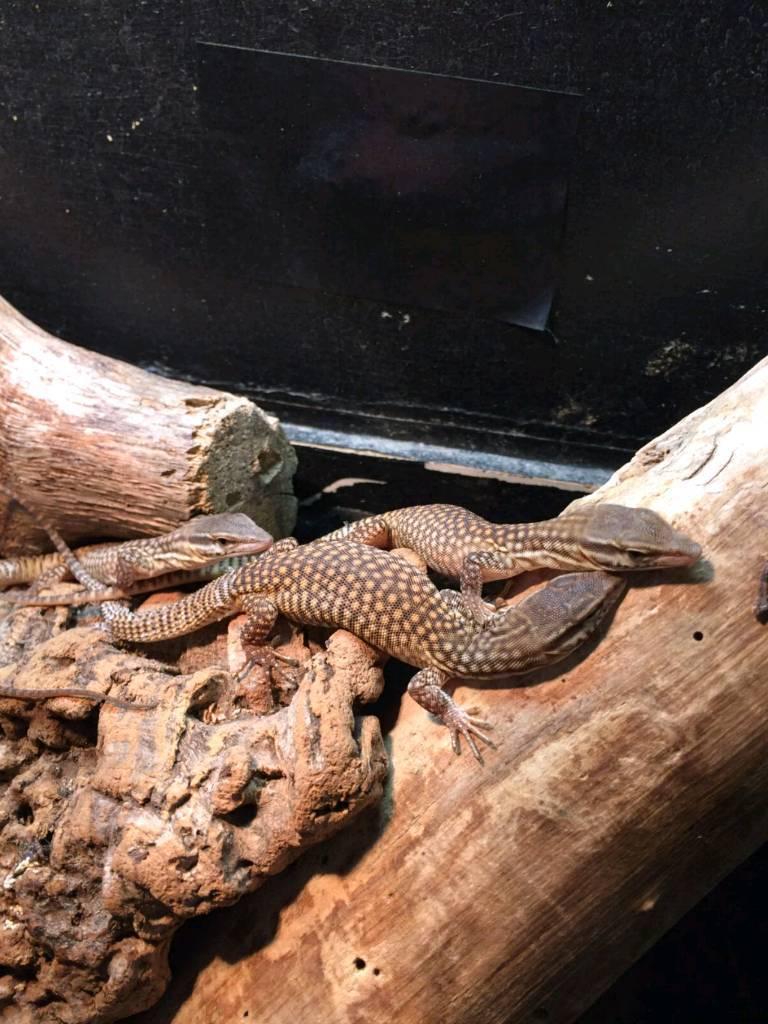 Dwarf monitor lizards | in Bishops Stortford, Hertfordshire