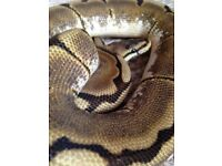 Ball python & set up
