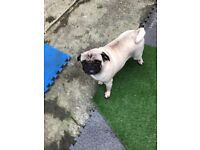 Beloved female pug seeking new home