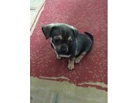 2/4 chihuahua 1/4 pug 9 week old girl puppy