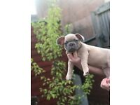 Lilac fawn French bulldog quad carrier (male)