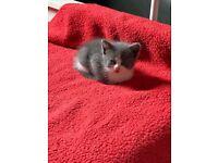 Persian cross British shorthair kittens