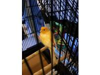 orange canary with cage
