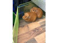 2 male guinea pigs