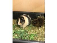 2 Male guinea pigs with indoor cage
