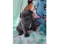 Stunning Blue French Bulldog Puppies