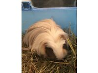 Male guinea pig and cage for quick sale. My 1 year old daughter is allergic