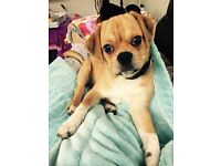 Re-Home 6 Month Old Male Puggles Puppy, Great with Children and Dogs. Fully Vaccinated.