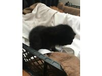2 KITTENS FOR SALE --- READY 18TH OF JULY