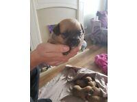 staffy cross shihtzu puppies for sale