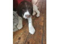 Puppy English springer spaniel