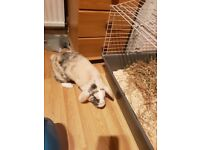 French lop female