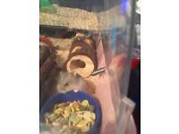 Hamster pups