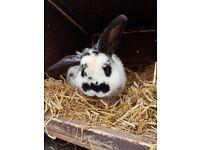9 month old Rabbit