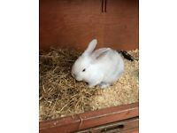 Baby male rabbit - 11 weeks old ready to leave now. White with grey markings.