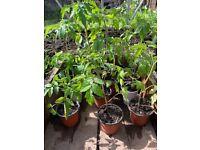 Beefsteak tomato plants