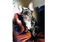 6 month old black/brindle male French bulldog