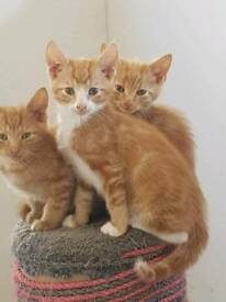 1 beautiful ginger and white kitten