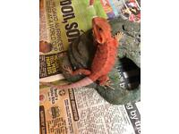 Hypo trans bearded dragon for sale