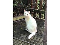 White hair domestic female cat