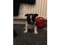Stunning French Bulldog Puppy