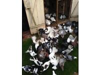 Doves for sale