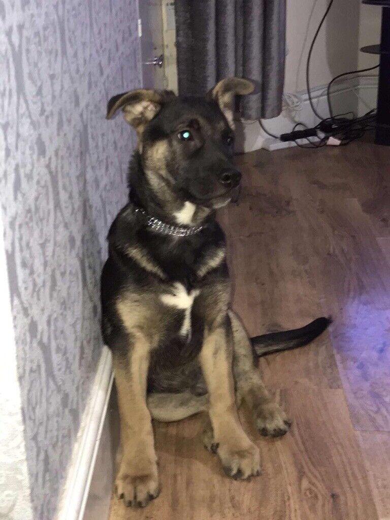 German Shepherd X Belgian Shepherd Puppy for Sale | in Belgium