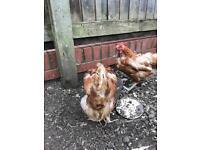 2 female chicken/hens sale
