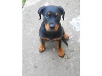 puppy rottweiler 17 weeks femail bargin only selling as older dog wont mix