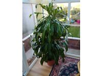 Beautiful Dragon Tree plant in heated conservatory,