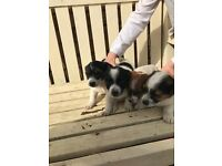 Jack Russell X chiwawa for sale