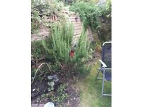 Large Rosemary bush for sale