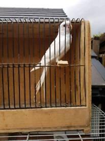 Albino Cockatiel