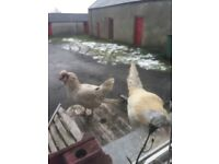 1 hen 1 rooster free to good home