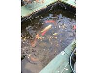 Goldfish and pond equipment