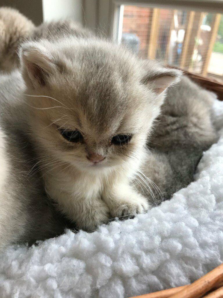Full Pedigree Black Tipped, Blue Golden, Black Golden,Lilac shaded GCCF  kittens available | in Ashford, Kent | Gumtree