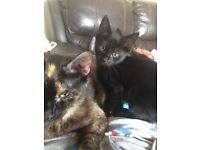 kitten for sale!