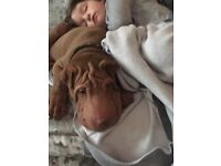 ''MALE SHAR PEI FOR SALE' URGENT, needs rehoming ASAP