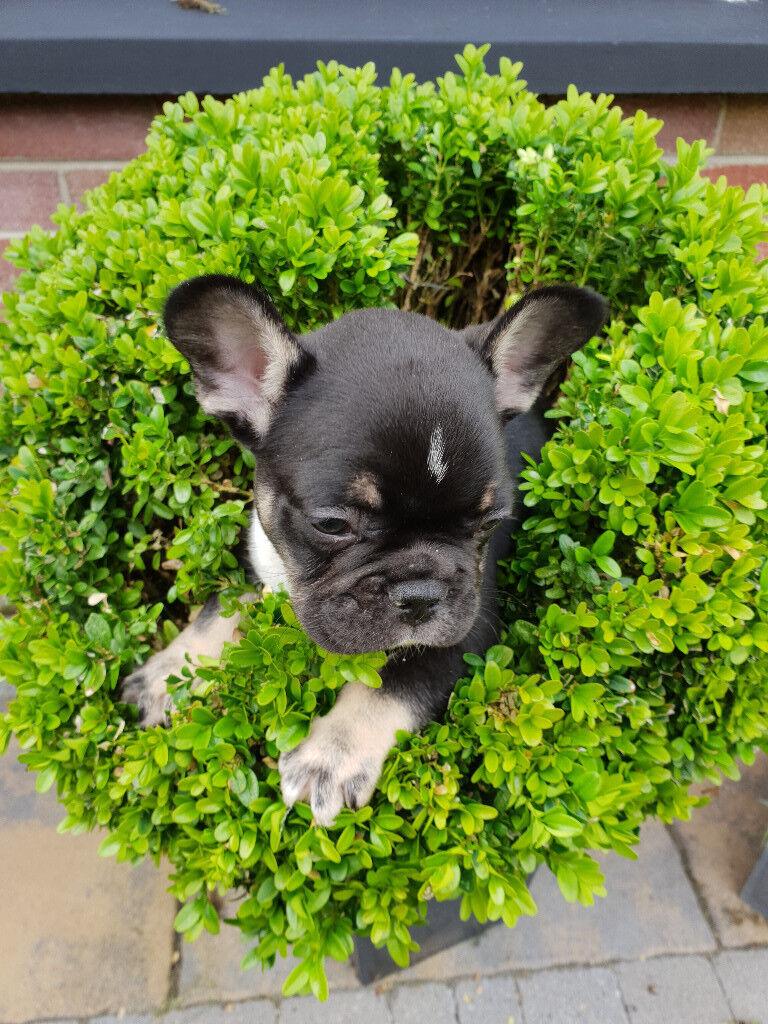 French Bulldog puppy for sale   in Turkey