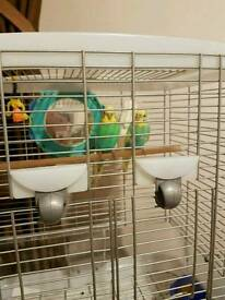 3month old budgie
