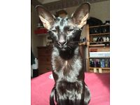 Lost Cat, Completely black cat lost from Urmston