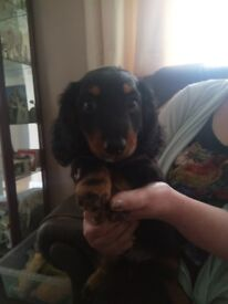 mini long black and tan dachshund boy pup