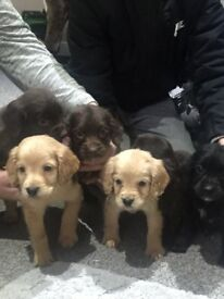 Chocolate and golden cocker spaniel puppies for sale