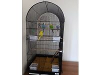 4 Young Budgies & Large Cage