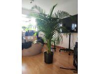 Big 4ft Areca Palm plant and good quality pot.