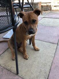 Staffy x bully - 8 month puppy