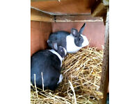 1 male blue dutch rabbits