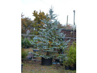 HOOPSII BLUE SPRUCE 240LT POTTED,3.5M TALL.Very rare. Specimen.THE ULTIMATE XMAS TREE.